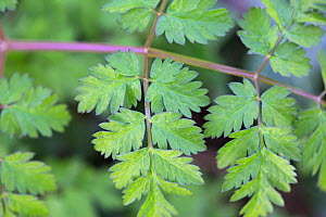 Cow parsley (Anthriscus sylvestris) leaves, Hampstead Heath, London, England, UK, February. - Matthew Maran