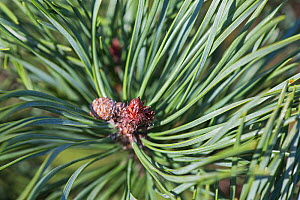 Close-up of Scots pine (Pinus sylvestris) buds and needles Hampstead Heath, London, England, UK. February. - Matthew Maran