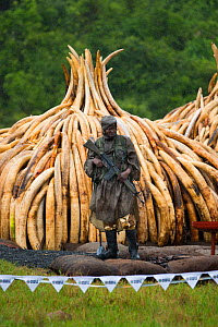Guard standing in front of African elephant (Loxodonta africana) ivory in piles, which are ready to be burnt by the Kenya Wildlife Service (KWS). Burn included 105 tons of elephant ivory, Nairobi Nati... - Jabruson