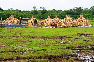 Elephant ivory in piles ready to be burnt by the Kenya Wildlife Service (KWS). Burn included 105 tons of elephant ivory, Nairobi National Park, Kenya, 30th April 2016. - Jabruson