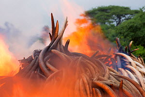 Piles of African elephant ivory set on fire by the Kenya Wildlife Service (KWS). This burn included over 105 tons of elephant ivory, worth over $150 million. Nairobi National Park, Kenya, 30th April 2... - Jabruson