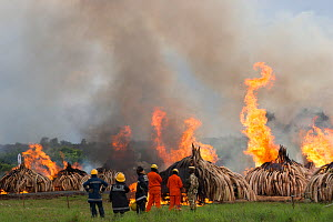 Firemen watching as piles of African elephant ivory are burnt by the Kenya Wildlife Service (KWS). This burn included over 105 tons of elephant ivory, worth over $150 million. Nairobi National Park, K... - Jabruson