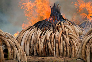 Piles of African elephant ivory on fire, burnt by the Kenya Wildlife Service (KWS). This burn included over 105 tons of elephant ivory, worth over $150 million. Nairobi National Park, Kenya, 30th Apri... - Jabruson