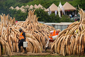 Men preparing African elephant (Loxodonta africana) ivory in piles, to be burnt by the Kenya Wildlife Service (KWS). The burn included 105 tons of elephant ivory worth over  $150 million Nairobi Natio... - Jabruson