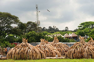 African elephant (Loxodonta africana) ivory in piles, ready to be burnt by the Kenya Wildlife Service (KWS). The burn included 105 tons of elephant ivory worth over $150 million Nairobi National Park,...  -  Jabruson