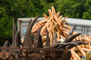 Rhino horns and Elephant ivory ready to be burnt by the Kenya Wildlife Service (KWS). Burn included 105 tons of elephant ivory and one ton of rhino horn (estimated to be 5% of the current world stockp... - Jabruson