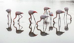 Greater flamingos (Phoenicopterus roseus) flock reflected, feeding in water, Pont de Gau Ornithological Park, Camargue, France, March.  -  Jean E. Roche
