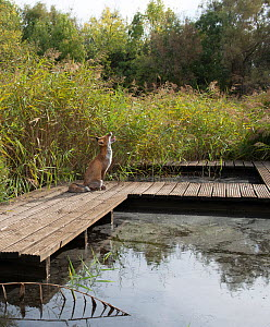 Red fox (Vulpes vulpes) sitting on board walk in marsh, Camargue, France, September. - Jean E. Roche