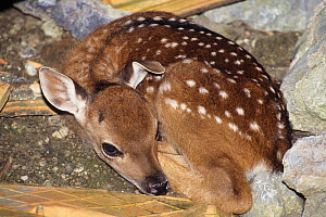 Vietnamese sika deer (Cervus nippon pseudaxis) fawn resting. Captive extinct in the wild.  -  Roland  Seitre