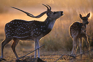 Chital or Axis deer (Axis axis) stag and hind during courtship, India. - Roland  Seitre