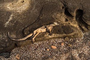 Dead Marine iguana (Amblyrhynchus cristatus) on the coastal rocks on Santiago Island, Galapagagos, April 2016. It probably died of starvation as much of the algae in the region have died off due to un...  -  Roy Mangersnes