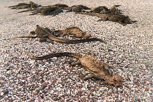 Dead Marine Iguanas (Amblyrhynchus cristatus) with some alive in the background, Fernandina island, Galapagos.  April 2016. The iguanas are probably dying of starvation as unusually warm El Nino water...  -  Roy Mangersnes