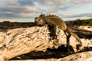 Marine iguana (Amblyrhynchus cristatus) resting on log in sunlight, Fernandina Island, Galapagos, April. - Roy Mangersnes