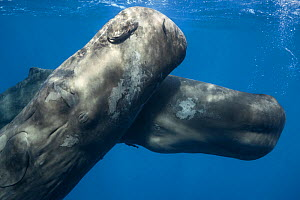 Sperm whales (Physeter macrocephalus) juveniles playing together, Caribbean.  -  Tony Wu
