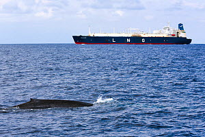 Blue whale (Balaenoptera musculus brevicauda) swimming  in commercial shipping lane off Sri Lanka; these ships  are a danger to the whales. Indian Ocean.  -  Tony Wu