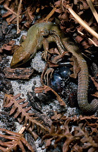 Common Lizard (Zootoca vivipara), giving birth to young in thin egg membranes, Derbyshire, England, UK. This species can both lay eggs and also give birth to live young in a thin egg membrane.  -  Chris Mattison