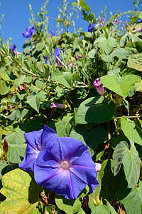 Blue morning glory (Ipomoea indica) flowers, an Asian species invasive in Portugal, Monchique mountains, Algarve, Portugal, August 2013. - Nick Upton