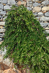 Caper bush (Capparis spinosa) growing from the wall of  medieval Panteli castle, Platanos, Leros, Dodecanese Islands, Greece, August 2013. - Nick Upton