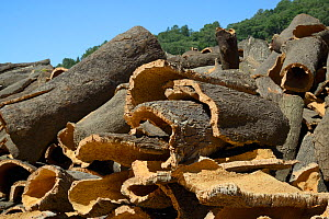 Cork oak bark freshly removed from Cork oak trees (Quercus suber) and stacked to dry out, Monchique, Algarve, Portugal, August 2013.  -  Nick Upton