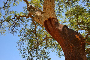 Cork oak (Quercus suber) with its bark recently harvested, Monchique mountains, Algarve, Portugal, August 2013.  -  Nick Upton