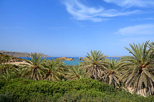 Cretan date palms (Phoenix theophrasti) at Vai beach, Sitia Nature Park, Lasithi, Crete, Greece, May 2013.  -  Nick Upton