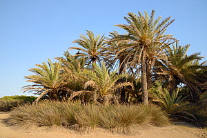 Cretan date palms (Phoenix theophrasti) on Vai beach, Sitia Nature Park, Lasithi, Crete, Greece, May 2013.  -  Nick Upton