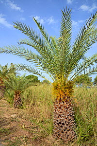 Young Cretan date palm (Phoenix theophrasti) with developing fruits, Xerokambos village, Lasithi, Crete, Greece, May 2013.  -  Nick Upton