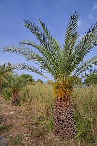 Young Cretan date palms (Phoenix theophrasti), Xerokambos village, Lasithi, Crete, Greece, May 2013.  -  Nick Upton