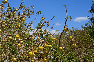 Apple of Sodom / Devil's apple / Devil's tomato  (Solanum linnaeanum / sodomaeum) an invasive South African species with many toxic yellow fruits,  roadside scrubland, Algarve, Portugal, July 2013.  -  Nick Upton