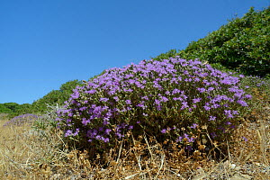 Clump of  Headed thyme / Wild thyme flowers (Thymus / Coridothymus capitatus), Lasithi, Crete, Greece, May 2013.  -  Nick Upton