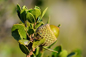 Developing acorn of Kermes oak (Quercus coccifera) in coastal maquis / garrigue scrubland, Argolis, Peloponnese, Greece, August 2013.  -  Nick Upton