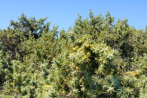 Large-fruited juniper (Juniperus macrocarpa), with ripening seed cones in coastal maquis scrubland, Kos, Dodecanese Islands, Greece, August 2013. - Nick Upton