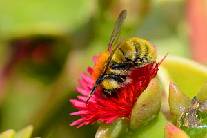 Moss carder bumblebee (Bombus muscorum) visiting Red apple Ice plant / Baby sunrose (Aptenia cordifolia) an invasive South African species flowering on a coastal headland, Vale de Figueira,  Portugal,... - Nick Upton