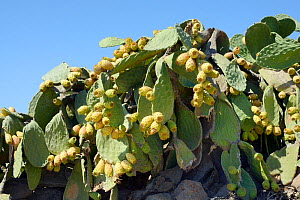 Prickly pear cactus / Barbary fig (Opuntia ficus-indica) with ripening fruits, Patmos, Dodecanese, Greece, August 2013.  -  Nick Upton
