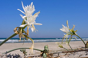 Sea daffodil / Sea lily (Pancratium maritimum) flowers and seed pods on sand dunes, Kos, Dodecanese islands, Greece, August 2013.  -  Nick Upton