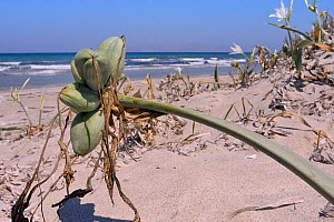 Sea daffodil / Sea lily (Pancratium maritimum) stem and seed pods on sand dunes, Kos, Dodecanese islands, Greece, August 2013.  -  Nick Upton