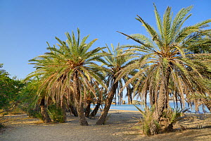 Vai beach with Cretan Date Palms (Phoenix theophrasti), Sitia Nature Park, Lasithi, Crete, Greece, May 2013.  -  Nick Upton