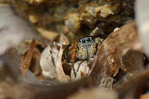Beautiful Jumping spider  / Beautiful jumper (Philaeus / Phylaeus chrysops) hunting among the tide wrack of Seagrass leaves on a beach, Lesbos / Lesvos, Greece, May. - Nick Upton