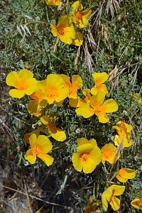 Californian poppy / Golden poppy (Eschscholzia californica) clump, flowering beside a mountain road, Teide National park, Tenerife, May.  -  Nick Upton