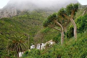 Canary Islands Date Palm (Phoenix canariensis) and Canary Islands dragon tree / Drago (Dracaena draco), a slow growing tree-like monocotyledenous plant related to Asparagus, endemic to the Canaries  a...  -  Nick Upton