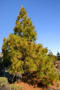 Canary island pines (Pinus canariensis), endemic to the Canaries, growing and producing many male cones among old volcanic lava flows below Mount Teide, Teide National Park, Tenerife, Canary Islands,...  -  Nick Upton