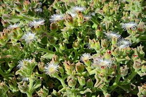 Common / Crystalline Ice plant (Mesembryanthemum crystallinum) flowering on coastal headland, Tenerife, May. - Nick Upton