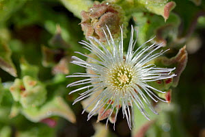Common / Crystalline Ice plant (Mesembryanthemum crystallinum) flower close up, Tenerife, May. - Nick Upton
