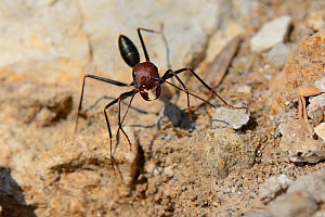 Desert ant (Cataglyphis nodus / Cataglyphis bicolor nodus) worker foraging among rocks just behind a sandy beach, Kos, Greece, August. These ants navigate back to their nest using the sun. - Nick Upton
