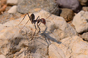 Desert ant (Cataglyphis nodus / Cataglyphis bicolor nodus) worker standing on a rock near its nest entrance just behind a beach, Kos, Greece, August. These ants navigate back to their nest using the s... - Nick Upton