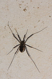 Female Harvestman (Zacheus crista) on a house wall,  Lesbos / Lesvos, Greece, May.  -  Nick Upton