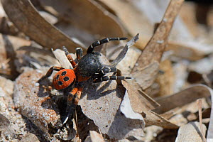 Male Ladybird spider (Eresus cinnaberinus / niger) searching for females, Lesbos / Lesvos, Greece, May.  -  Nick Upton
