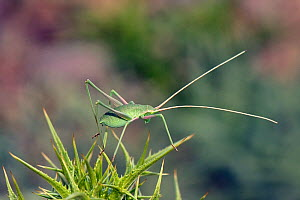 Long-legged bush cricket nymph (Acrometopa syriaca or servillea) standing on a thistle, Mount Olympus, Lesbos / Lesvos, Greece, May. - Nick Upton
