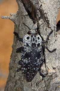 Mediterranean flatheaded woodborer / Jewel beetle (Capnodis cariosa / tenebrionis),  a pest of fruit trees including Apricot and Almond, well camouflaged on a tree trunk, Lesbos / Lesvos, Greece, May - Nick Upton