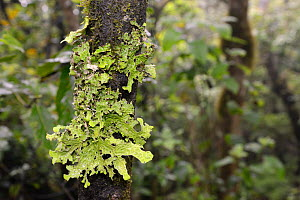 Tree lungwort / Lung lichen (Lobaria pulmonaria) patch growing on a tree trunk in montane Laurel forest, Anaga Mountains, Tenerife, May.  -  Nick Upton